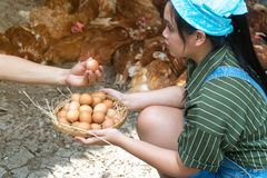 Happy asian farmers wear plaid long sleeve shirt brown apron are holding fresh chicken eggs into basket at a chicken farm in himHa royalty free stock photos