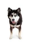 Happy and Attentive Alaskan Malamute Crossbreed Dog Royalty Free Stock Photography