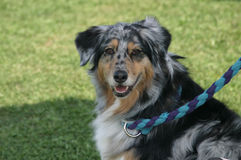 Happy Aussie. A happy blue merle Australian shepherd poses for the camera Royalty Free Stock Image