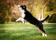 Australian shepherd puppy Stock Images