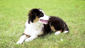Australian shepherd puppy. Happy Aussie on meadow with green grass in summer or spring. Beautiful Australian shepherd puppy 3 months old - lie on field. Cute dog stock video