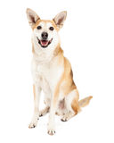 Happy Australian Cattle Dog and Shiba Inu Mix Stock Photos