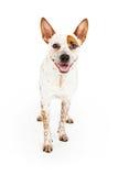 Happy Australian Cattle Dog Standing. Australian Cattle Dog standing against a white background with a happy smile Stock Photo