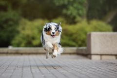 Australian shepherd dog running in the park. Happy australian shepherd dog running outdoors Royalty Free Stock Photos
