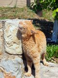Happy Ginger Cat Rubbing Against Stone Wall royalty free stock photos