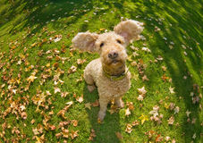 Happy autumn dog. Happy dog flapping his ears stock photography