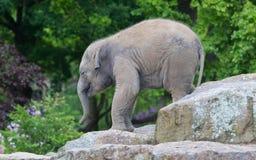 Happy baby elephant Stock Photo