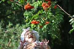 Toothless Caucasian baby girl laughing at rowanberry in her father`s hands stock images