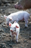 Happy baby pig. Cute happy baby pig with ear tag on farmland stock images
