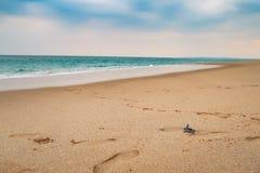 Happy baby sea turtle racing the last meters to the ocean, sri lanka royalty free stock images