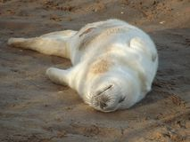 Happy baby seal. Happy newborn seal pup sleeping on it's back Royalty Free Stock Image