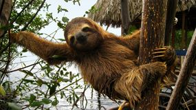 Happy baby sloth. Baby Brown-throated Three-toed sloth in the mangrove, Caribbean,  Costa Rica Royalty Free Stock Photography