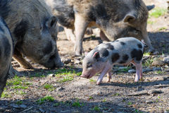 Happy baby wild boar watched by its mother Royalty Free Stock Image