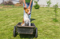 Happy basenji dog in foretaste when the cool ride on a wheel barrow Royalty Free Stock Images