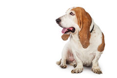 Happy Basset Hound Dog Looking To Side Stock Images