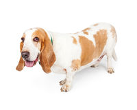 Happy Basset Hound Dog Side View stock image