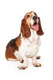Happy Basset Hound Dog Sitting Looking Up Stock Images