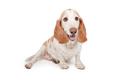 Happy Basset Hound Dog Smiling Stock Photography