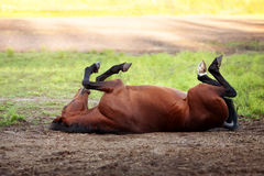 Happy bay horse lying in a field. In summer stock images