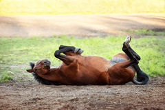 Happy bay horse lying in a field. In summer royalty free stock photography