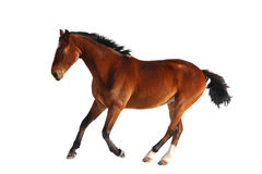 Happy bay horse running isolated on white Stock Image