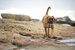 Happy beach boxer Stock Photos