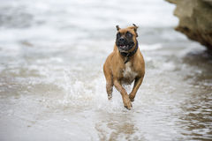 Happy beach boxer. A happy boxer splashes through the shallows at the beach stock photos