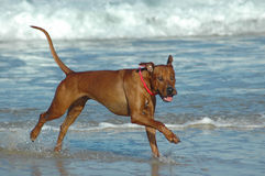 Happy beach dog Royalty Free Stock Photos