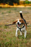 Happy beagle Royalty Free Stock Images