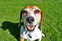 Happy Beagle. Outside in the park Royalty Free Stock Photo