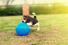 Happy Beagle Royalty Free Stock Photography