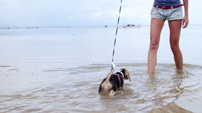 Happy beagle dog at the beach playing in the ocean of tropical island Bali, Indonesia. stock video footage