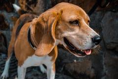 Happy beagle dog face smiling. Rocks wall background royalty free stock photos