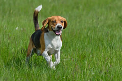 Happy beagle. Dog having fun on then green grass Stock Photo