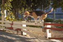 Happy beagle dog jumping over fence in the city royalty free stock images