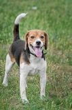 Happy beagle dog standing on grass in summer stock photography
