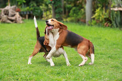 Happy beagle dogs playing. In lawn stock photos