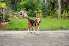 Happy beagle dogs playing in lawn with friends. Happy beagle dogs playing in lawn stock image