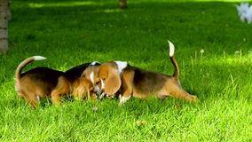 Happy beagle dogs in summer Park. Slow motion