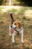 Happy beagle with a long tongue Stock Image