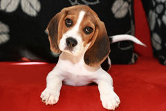 Happy beagle puppy. Lies on a sofa royalty free stock images