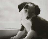 Happy beautiful black and white border collie puppy luying on his owner Stock Images