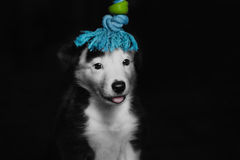 Happy beautiful black and white border collie puppy luying on his owner royalty free stock photo
