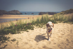 Happy berner sennen dog outdoors playing and running in dune lan Royalty Free Stock Images