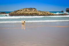 Happy berner sennen dog outdoors playing and running in dune lan Royalty Free Stock Photography