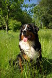 Happy Bernese Mountain Dog. Bernese Mountain Dog sitting on green grass on summer meadow Royalty Free Stock Photo