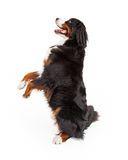 Happy Bernese Mountain Dog Begging Royalty Free Stock Photography