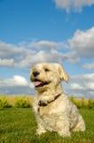Happy Bichon Havanais dog Royalty Free Stock Photography