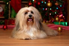 Happy Havanese dog is lying in front of a Christmas tree stock photography