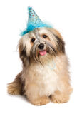 Happy Bichon Havanese puppy dog in a blue party hat Royalty Free Stock Photo